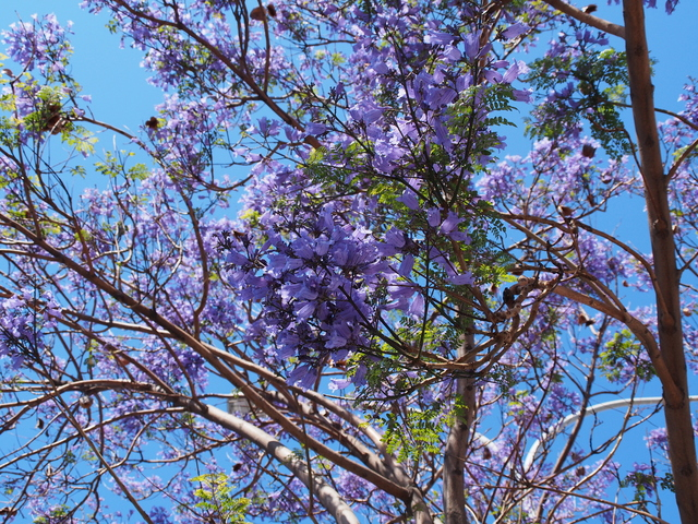 Photo library jacaranda